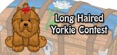 long haired yorkie contest